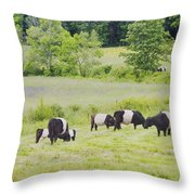 Belted Galloway Cows Rockport Maine Poster Prints Throw Pillow