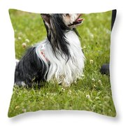 Biewer Yorkshire Terrier Is Looking Up At His Master Throw Pillow