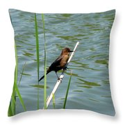 Boat Tailed Grackle Female Throw Pillow