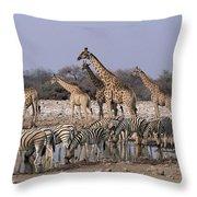 Burchells Zebra Equus Burchellii Throw Pillow