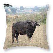Cape Buffalo Eating Grass In Queen Elizabeth National Park, Ugan Throw Pillow
