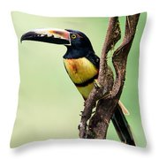 Collared Aracari Pteroglossus Throw Pillow