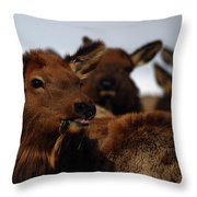 Cow Elk At Hardware Ranch Throw Pillow