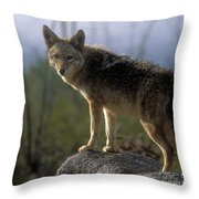 Coyote In Ocotillo Trees Throw Pillow