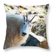 Curious Goat On The Mount Massive Summit Throw Pillow