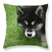 Curiousity Filled Look In The Face Of An Alusky Throw Pillow