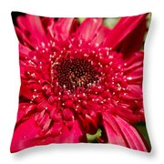 Dark Red Gerbera Daisy Throw Pillow