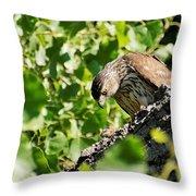 Female Cooper's Hawk Feeding Throw Pillow