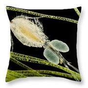 Female Copepod Cyclops Sp., Lm Throw Pillow