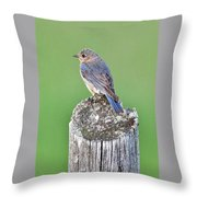 Female Eastern Bluebird 4479 Throw Pillow