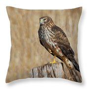 Female Northern Harrier Standing On One Leg Throw Pillow