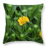 Gaillardia Arizona Apricot Throw Pillow