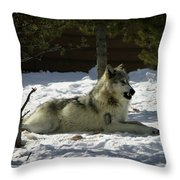 Gray Wolf 6 Throw Pillow
