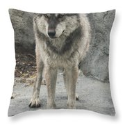 Gray Wolf Stare Throw Pillow