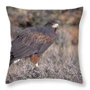 Harris Hawk At Rest Throw Pillow