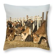 Jersey Cows Feeding Throw Pillow