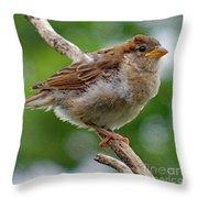Juvenile House Sparrow Throw Pillow