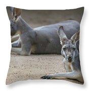 Kangaroo Relaxing On Ground In The Sun Throw Pillow