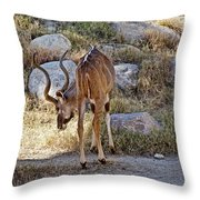 Kudu Near A Waterhole In Living Desert Zoo And Gardens In Palm Desert-california  Throw Pillow