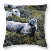 Large Harbor Seal Colony In Scotland Throw Pillow