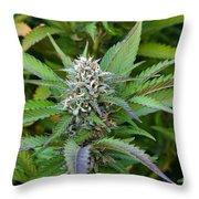 Medicinal Marijuana Growing Throw Pillow