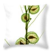 Milkweed, Gomphocarpus Physocarpus Throw Pillow