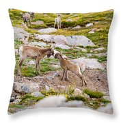 Practicing Baby Bighorn Sheep On Mount Evans Colorado Throw Pillow