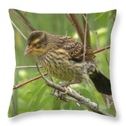 Redwing Blackbird - Immature Throw Pillow