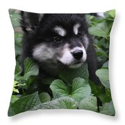 Sweet Markings On The Face Of An Alusky Puppy Dog Throw Pillow