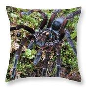Tarantula Pamphobeteus Sp Male, Mindo Throw Pillow