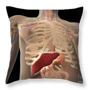 Transparent View Of Human Torso Showing Throw Pillow