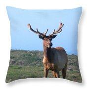 Tule Elk Bull In Grassland Near Drake's Bay Throw Pillow