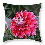 Variegated Colored Dahlia Throw Pillow