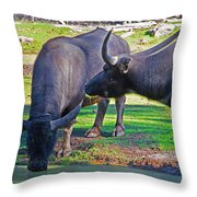 Watching 2 Water Buffalos 1 Water Buffalo Watching Me Throw Pillow