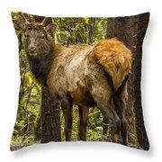 Young Bull Elk Throw Pillow