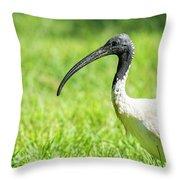 Australian White Ibis Throw Pillow by Rob D Imagery