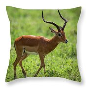 Male Impala Crossing Grassland With Tongue Out Throw Pillow