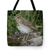 Swainsons Thrush Tote Bag