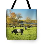 Belted Galloway Cows Grazing On Grass In Rockport Farm Fall Main Tote Bag