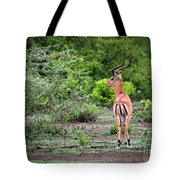 A Male Impala In Lake Manyara National Park. Tanzania. Africa. Tote Bag