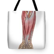 Anatomy Of Forearm Muscles, Anterior Tote Bag