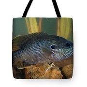 Bluegill Lepomis Macrochirus Tote Bag