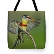 Curl-crested Aracari About To Perch Tote Bag