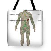 Lymphatic System In Male Anatomy Tote Bag