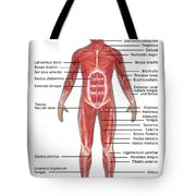 Muscular System In Male Anatomy Tote Bag