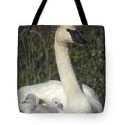 Trumpeter Swan On Nest With Chicks Tote Bag by Michael Quinton