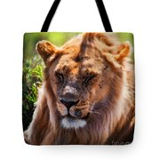 Young Adult Male Lion Portrait. Safari In Serengeti Tote Bag