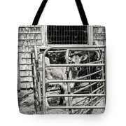 Young Cows In Pen Near Barn Maine Photograph Tote Bag
