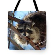 Young Raccoon In Birch Tree Tote Bag