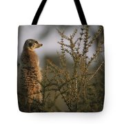 A Meerkat Suricata Suricatta Stands Tote Bag
